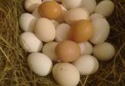 Jaja od kurek z wolnego wybiegu
