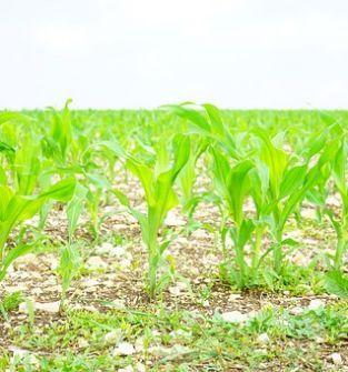 Siew kukurydzy