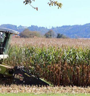 Zbiór kukurydzy na ziarno lub na kiszonkę