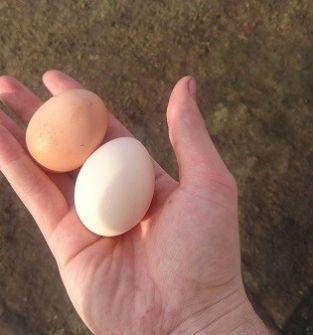 Ekologiczne jajka(200 szt.)