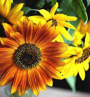 Kwiaty słonecznika ozdobnego