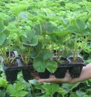 Sadzonki truskawki
