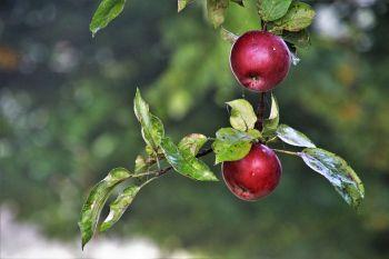 Jabłka odmiana Jonaprince