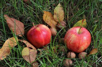 Jabłka odmiana Idared
