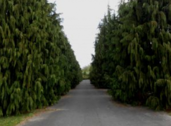 Drzewo ozdobne Cyprysik nutkajski 'Pendula'