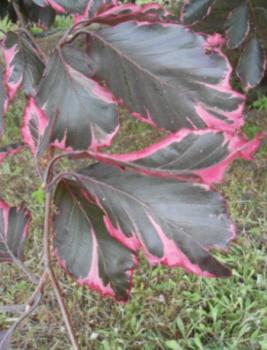 Buk pospolity 'Purpurea Tricolor'