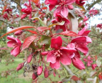 Jabłoń ozdobna 'Royalty'