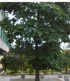 Surmia bignoniowa