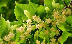 Suszony kwiat lipy