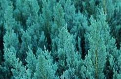 Jałowiec płożący 'Blue Forest'
