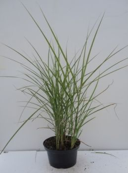 Miscanthus sinensis Little Miss C2