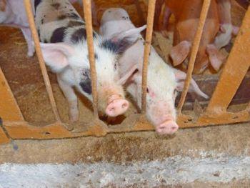 Półtusze świni rasy złotnicka biała