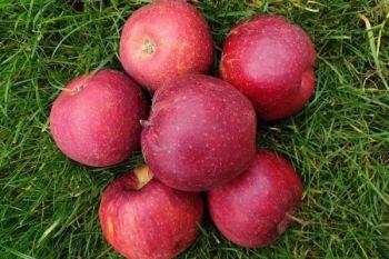 Jabłka odmiany Red Jonaprince