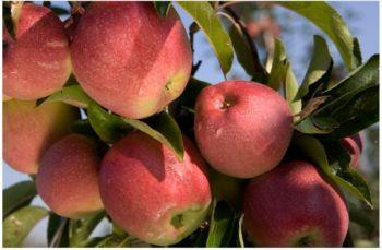Jabłka odmiany Gloster