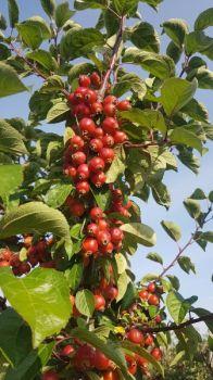 Rajskie jabłuszka