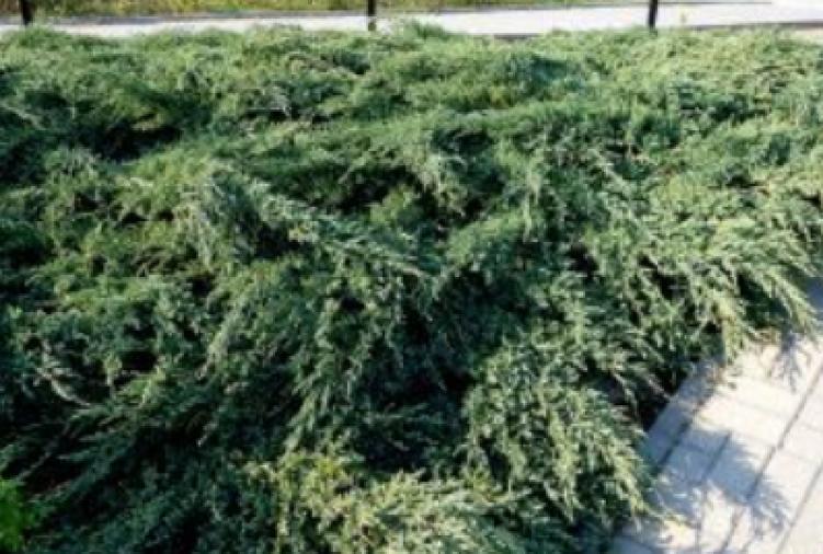 Drzewko ozdobne Jałowiec łuskowaty 'Blue Spider'