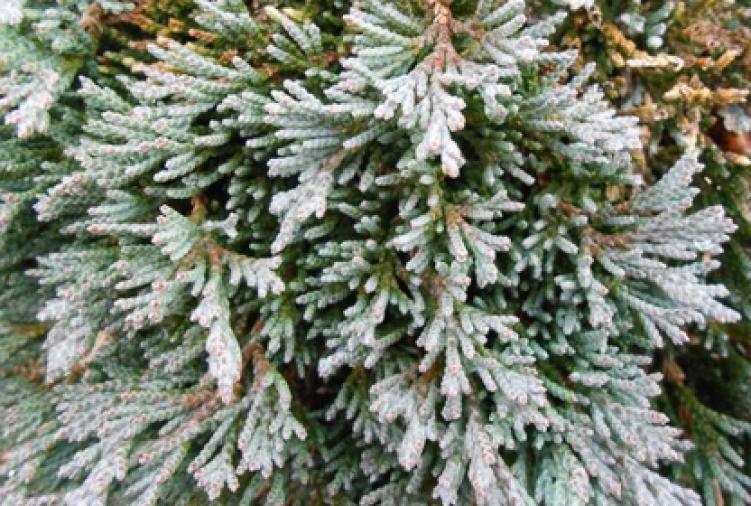 Drzewko ozdobne Jałowiec płożący 'Wiltonii'