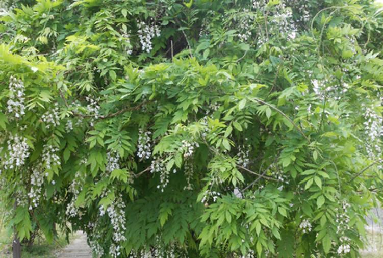 Glicynia kwiecista 'Shironoda'