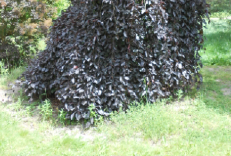 Buk pospolity 'Purpurea Pendula'