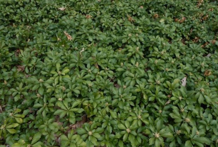 Runianka japońska 'Green Carpet'