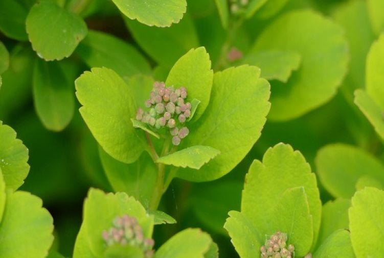 Spiraea betulifolia Tor Gold C1,5/C2 10-15 cm