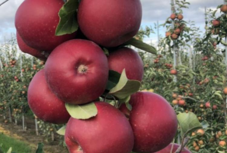 Jabłka odmiany Gala