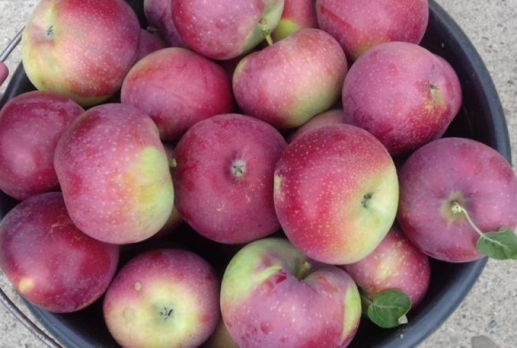 Jabłka odmiany Lobo