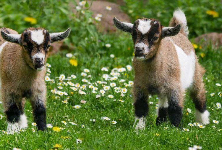 Kozy - mix i burski (2 kozy 2 capy)